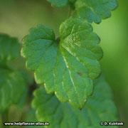 Gundermann (Gundelrebe), Glechoma hederacea, Blatt
