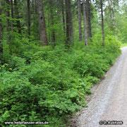 Durch Ausläufer kann die Alpen-Heckenrose (Rosa pendulina) Kolonien lockerer Büsche bilden, so wie hier entlang eines Forstwegs.