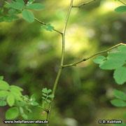 Blütenzweige  und junge Triebe der Alpen-Heckenrose (Rosa pendulina) tragen meist keine Stacheln.