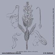 Echter Salbei, Salvia officinalis