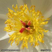 Chinesische Päonie (Paeonia lactiflora), Blüte Nahaufnahme