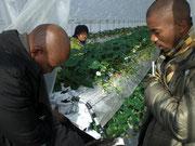 22日鳥取JAいちごのハウス栽培を見学