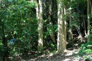 林立するカエンボク