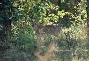 Der Sharpe-Greisbock (Raphicerus sharpei), eine mehrheitlich nachtaktive, scheue und eher einzeln lebende, kleine Antilope (7,5 kg und 50 cm Höhe) ist – dank unauffälliger Färbung – im schützenden Strauchwerk tagsüber schwierig zu entdecken.