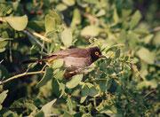 """Am anderen Morgen begrüssten uns aus dem Gebüsch Maskenbülbüls, """"Red-eyed Bulbul"""", (Pycnonotus nigricans). Es sind lebhafte Vögel mit einem auffälligen und lauten Strophengesang. Der Name Bülbül kommt aus dem Persischen und bedeutet """"Nachtigall"""""""