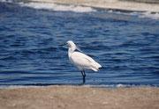 Das Vogelreservat von Walvis Bay stellt den bedeutendsten Watbereich im südlichen Afrika dar. Hier ein Seidenreiher (Egreta garzeta).