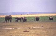 Hier derselbe Bulle (links) bei der Herde. Man bedenke, die anderen Tiere sind teilweise erwachsene Elefantenkühe mit ihren Kälbern. Und auch wenn einige im Wasser stehen, der Bulle würde sie weit überragen, auch wenn sie neben ihm stehen würden.