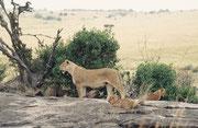 Die Löwen müssen sich in der Periode der grossen Wanderung vorkommen, wie im Schlaraffenland: Gnus und Zebras so weit das Auge reicht. Auch diese Löwin und ihre Jungen machen einen wohlgenährten Eindruck. Aber eben: Die Tage des Überflusses sind gezählt.