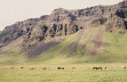 Entlang weidenden Islandpferden fuhren wir dann der Südküste entlang zurück in die Region von Reykjavik