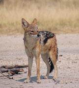 Es ist erstaunlich, wie zutraulich einzelne Schabrackenschakale (Canis mesomelas) sind. Die Art hat ein faszinierendes Sozialverhalten. Zwar gehen sie eine lebenslange Paarbindung ein, aber sie können auch in kleineren Rudeln (= Familienverbänden) leben.