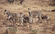 Bergzebras leben in kleinen Verbänden, bestehend aus einem älteren Hengst, bis zu fünf Stuten und deren Jungen. Von der IUCN wurde die Unterart als gefährdet eingestuft, denn es gibt nur noch etwa 15'000 Hartmann-Bergzebras in Namibia.