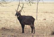 Ein schöner Ellipsenwasserbock (Kobus ellipsiprymnus ellipsiprymnus). Die Art kommt zwar in der Nähe von Wasser vor, aber wird häufig auch in trockenerer Savanne gesehen, Offenbar flüchtet er bei Gefahr ins Wasser (Lake Nakuru NP)