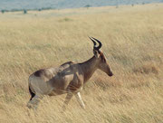 Das Kongoni, eine Unterart der Kuhantilope (Alcelaphus biselaphus cockii).