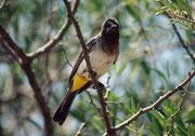 Graubülbül (Pycnonotus barbatus) (Olduvai Gorge)