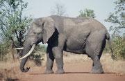 Das war unser erster leibhaftiger Afrikanischer Elefant (Loxodonta africana) den wir in unserem Leben in der Natur sahen. Wir fuhren um die Mittagszeit ganz allein auf einer kleinen Nebenstrasse, als dieser Koloss plötzlich bockstill vor uns stand.