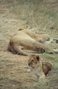 Aufmerksam beobachtet dieser herzige Kerl, was um ihn herum geschieht (es kommen nämlich immer mehr Safaribusse, deren Fahrer einander sogar per Funk informieren, wo es etwas Interessantes zu sehen gibt). (Masai Mara)