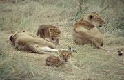 Wo es so viele Gnus, Zebras, Büffel, Kuhantilopen etc. gibt, finden sich natürlich auch die Löwen ein, die sich wie im Schlaraffenland vorkommen müssen. Mit vollen Bäuchen machen sie dann eine mittägliche Siesta.