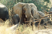 Etwa 1 km, nach den Löwen trafen wir auf die Elefanten, die uns im Weg gewesen waren. Die Tiere scheuerten sich an Felsbrocken. Ohne Vorwarnung griff eine Kuh plötzlich unseren Safaribus an. Sie verfehlte ihn, als wir mit Vollgas davonfuhren, um ca. 20 cm