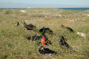 Mit den kurzen und schwachen Beinen können Fregattvögel nicht gut gehen aber sie können sich mit ihren Krallen an Mangrovengehölzen, Büschen oder Kakteen festhalten. Dort bauen sie auch ihre Nester (North Seymour).