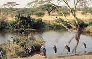 Eine Ansammlung von Marabus (Leptoptilos crumeniferus). Obwohl sie zu den Störchen gehören, und auch Fische und Amphibien fressen, sind sie vor allem nützliche Aas und Abfallvertilger (Serengeti NP)