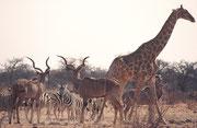 An der Wasserstelle Tsumcor herrschte frühmorgens ein reger Verkehr, wie üblich zu dieser Jahreszeit. Zu den drei Kudubullen und den schönen Zebras mit den weissen Beinen (Chapmans Zebras ?) gesellte sich auch eine Südafrikanische Giraffe.