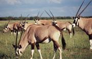 Der Südafrikanische Spiessbock unterscheidet sich vom Beisa Spiessbock (Oryx beisa), den wir in Kenia und Tansania gesehen haben, durch die deutlich schwarzen, breiten Markierungen an der Körperseite und den Beinen, wie auch den schwarzen Schwanz.