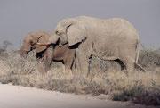 """Wieder ein weisser (""""eingepuderter"""") Elefantenbulle auf der Fahrt von Namutoni nach Halali, begleitet von einem jüngeren und dunkleren Artgenossen. Oft haben wir gesehen, dass sich jüngere Bullen, zu einem älteren gesellten und mit ihm zusammen wanderten."""