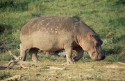 Flusspferd mit auffallend rissiger Haut (Austrocknung ?) (Amboseli)