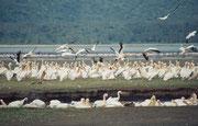 Im Vordergrund sieht man eine Gruppe von Rosapelikanen beim gemeinsamen Fischfang. (Lake Nakuru NP)