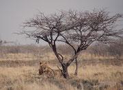 In der Tat sind Löwen, die sich zum Ruhen in der Mittagszeit in den spärlichen Schatten einer Akazie zurückgezogen haben, schwierig zu entdecken.