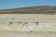 Zur Zeit der Inkas gab es etwa 1,5 Mio. Vikunjas in den Anden. Bis 1965 ging ihre Zahl auf 6000 zurück. Seitdem haben Schutzmassnahmen und die Methode der Gewinung von Wolle, ohne die Tiere töten zu müssen, aber zu einer Erholung der Bestände geführt.
