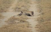 Diese Tüpfelhyäne (Crocuta crocuta) liess sich jedenfalls beim Morgenschläfchen nicht stören (Amboseli)