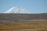 Wir nähern uns einer Höhe von 4000m. In dieser Höhe gibt es keine Guanacos mehr, nur noch Vicunjas. Im Hintergrund erscheint der mächtige Gipfel des Vulkans Parinacota (6342 m).