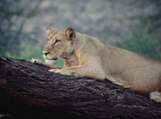 Nicht weit von unserem Camp machte diese Löwin eine kleine Ruhepause am Abend, bevor es wieder auf die Jagd ging (Samburu)