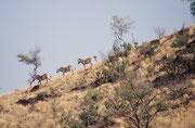 Das Bergzebra, die kleinste der drei Arten, existiert in zwei Unterarten, in gebirgigen Hochebenen bis zu 2000 m: Das Kap-Bergzebra, (Equus zebra zebra), im südafrikanischen Kapland und das Hartmannzebra (Equus zebra hartmannae) in Namibia.