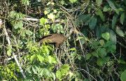 Ich habe diese Art als Rallenkranich (Aramus guarauna) bestimmt, bin aber nicht sicher. Der Rallenkranich ist ein interessanter Nahrungsspezialist, der sich fast ausschliesslich von Apfelschnecken der Gattung Pomacea ernährt, sofern diese vorhanden sind.