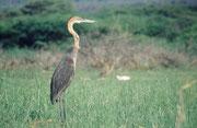 Der Goliathreiher (Ardea goliath) ist mit einer Höhe von 135 bis 150 cm der grösste Reiher der Welt (Lake Baringo)