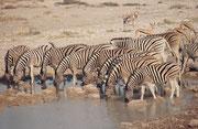 Zebras (hier Burchells Zebras) so zu fotografieren ist eine kleine Geduldsprobe: Immer wieder erschrecken einzelne Tiere wegen irgend einer Kleinigkeit und springen blitzartig von der Wasserstelle weg, dabei die anderen mitreissend (Wasserstelle Salvadora
