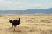 In dieser deckungsarmen Landschaft hat wohl selbst ein so kräftiger Straussenhahn (Struthio camelus) einen schweren Stand. Er kann ja nicht fliegen (aber sehr schnell laufen).