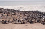 """Wenn die Jungen geboren sind, paaren sich die Weibchen wieder. Dabei kann es vorkommen, dass die Jungen von den 200-350 kg schweren Bullen erdrückt werden. Wir sahen effektiv zahlreiche Kadaver von Jungtieren (=Futter für Braune Hyänen/""""Strandwolf"""")"""