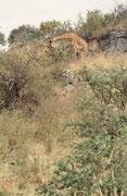 Giraffen erstaunen einen immer wieder. Dieses Tier unternahm, um zu seiner begehrten Nahrung zu kommen, eine kleine Klettertour auf eine der diversen Kopjes, welche für das Landschaftsbild der Serengeti ebenfalls charakteristisch sind.