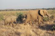 Auf dem Bild sind drei Elefanten ! Eine Mutter mit ihrem Jungen und eventuell einem älteren Jungen (Samburu)