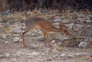 """Vom Fort Namutoni aus gegen Süden fährt man auf dem """"Dik-Dik Drive"""". Mit grösster Wahrscheinlichkeit kann man denn dort das Kirks Dik-Dik (Madoque kirkii), eine winzige Antilope entdecken (Schulterhöhe 30 - 40 cm; Neugeborene wiegen 500 - 800g)."""