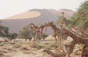 Die Lehmsenke des Sossusvlei ist fast immer trocken. Selten – im Schnitt alle 10 Jahre nach heftigen Regenfällen – füllt sie sich mit Wasser, Die Bäume und andere Pflanzen finden deshalb ihr Wasser wohl in unterirdischen Wasserläufen, aber auch über Tau.