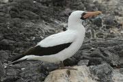 Wie die Blaufusstölpel brüten auch die Maskentölpel auf den Galapagos-Inseln ihre Eier mit der Wärme ihrer Füsse aus: Die mit Schwimmhäuten ausgestatteten Zehen der Wasservögel können bis zu 40 Grad warm werden (Punta Suarez, Espanola).