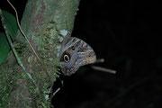 Auch diesen grossen Eulenfalter (Noctuidae) erspähten wir auf der Exkursion durch den Regenwald auf dem Weg zu unserer Holzplattform (dort waren übrigens schon Moskitonetze, Schlafsäcke und Schaumgummimatratzen vorbereitet).