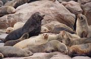 Die dunkelbraunen männlichen Südafrikanischen Seebären mit ihren deutlichen Mähnen erreichen bis zu 2,2 m Körperlänge und bis zu 200-350 kg Körpergewicht, die hellbraunen bis gelblichen, wesentlich kleineren  Weibchen nur etwa 1,7 m und 120 kg.