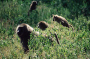 Bald schon begibt sich der Bärenpaviantrupp auf die gemeinsame Nahrungssuche (Lake Nakuru NP)