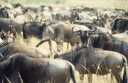 Bei genauer Beobachtung scheint die riesige Herde strukturiert: Es hat viele kleine Untergruppen, bestehend aus einzelnen Kühen mit ihren Kälbern und jeweils einem kräftigen Stier.