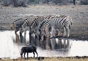 """Auch Zebras sind an der Wasserstelle sehr vorsichtig und springen immer wieder zurück, weil sie irgend etwas erschreckt hat. Dieses Warzenschwein scheint sie allerdings nicht zu stören (Wasserstelle """"Klein-Namutoni"""", Etosha NP)"""